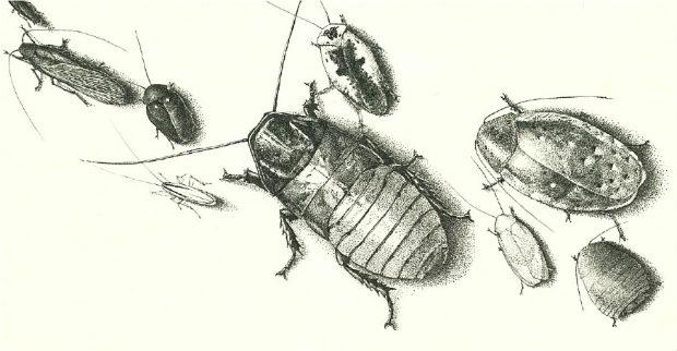 vidy-kvartirnyx-i-domashnix-tarakanov