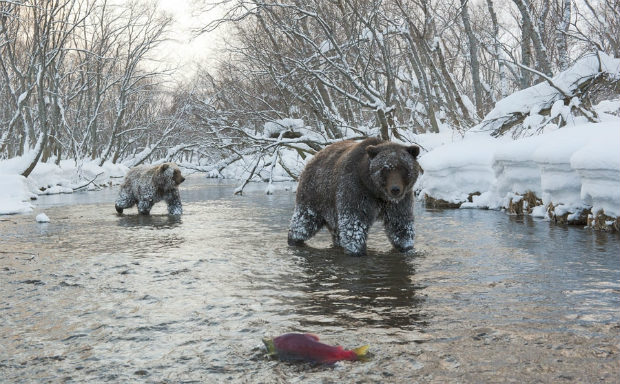 Медведи в реке лес