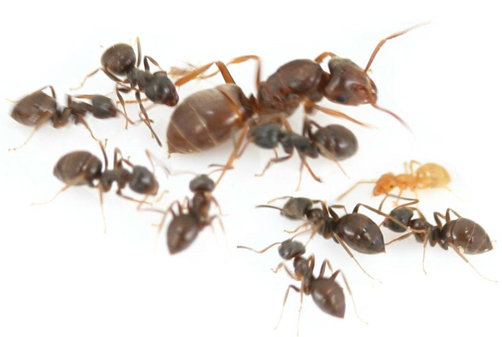 Матка муравьёв