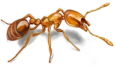 муравей рисунок