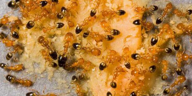 муравьи фараоны